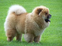 chow chow dogs, puppies