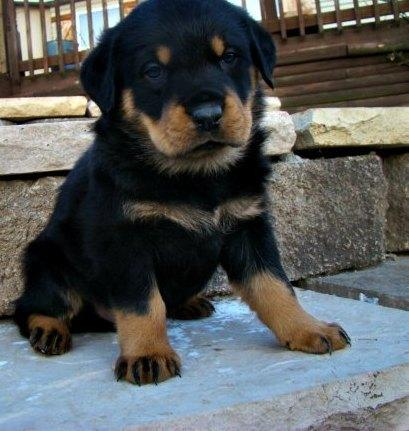 CUTE  R.o.t.t.w.e.i.l.e.r  Puppies: contact us at 719 645-7315