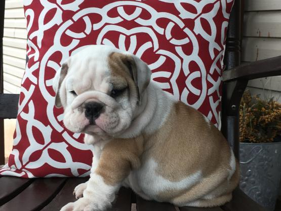 ?E.n.g.l.i.s.h. B.u.l.l.y P.upp.i.e.s For F.r.e.e, (323) 473-1730/Ready Now 12 Weeks Old