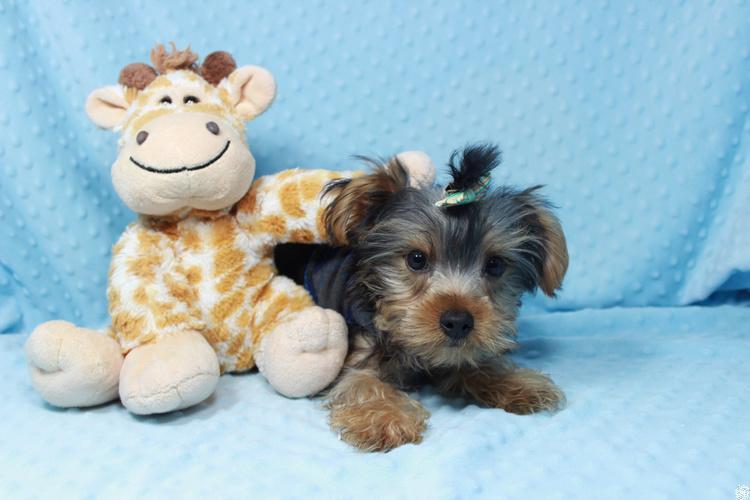 PennySaver | Cute Tiny & Teacup Puppies in Las Vegas ...