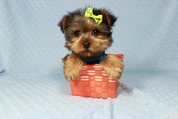 Pennysaver Tiny Yorkie Puppies For Sale In Las Vegas Nv In Clark