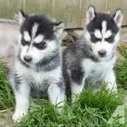 Free Fantastic Female and Male H.u.s.ky Pu.pp.ies for new home %$% (682) 978-4912