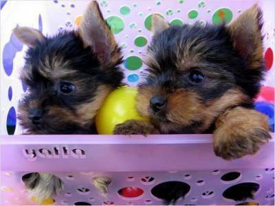 ???Pretty Female and Male Tea Cup Y.O.R.K.I.E puppies??? (216) 551-9966