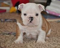 Pretty Female and Male E.n.g.l.i.s.h B.u.l.l.d.o.g puppies(980) 277-4879