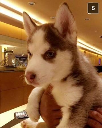 FREE Quality siberians huskys Puppies:contact us at(571) 393-6027