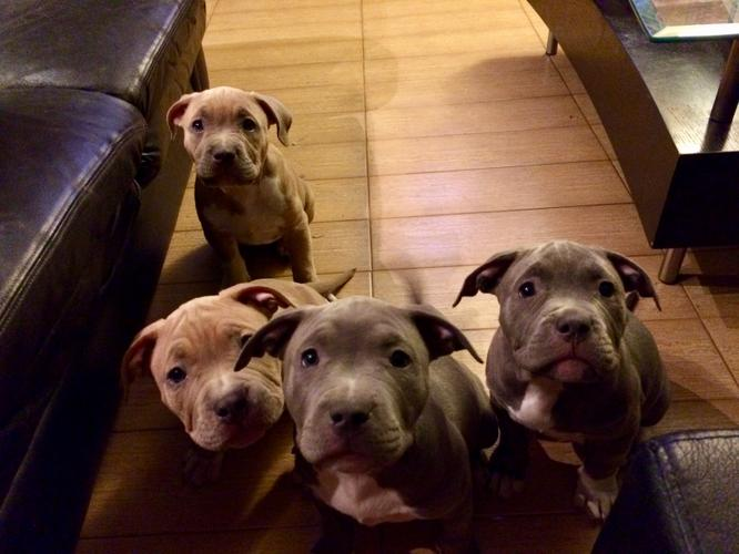 Pennysaver Blue Fawn Pitbull Puppies
