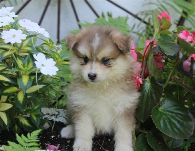 FREE  Beautiful Po.m.sky Pu.pp.ies Available (707) 983-7420