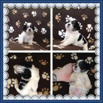 male and female Shih Tzu Puppies available.. (734) 400-4789