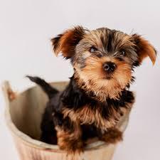 Pretty Female and Male Tea Cup Y.O.R.K.I.E puppies contact us (469) 205-3902