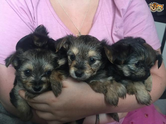 Awesome Charming Female and Male York.iee Pu.ppies ( 240) 232 5244