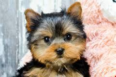 XMASS Tiny CUTE Tea-cup Yorkies Pu.ppies to Good homes, (612 213-4692)