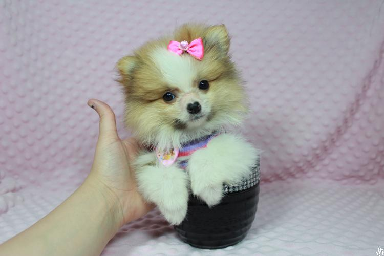 Perfect teacup and Toy puppies in Las Vegas.