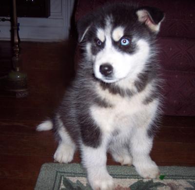 vet well registered puppies
