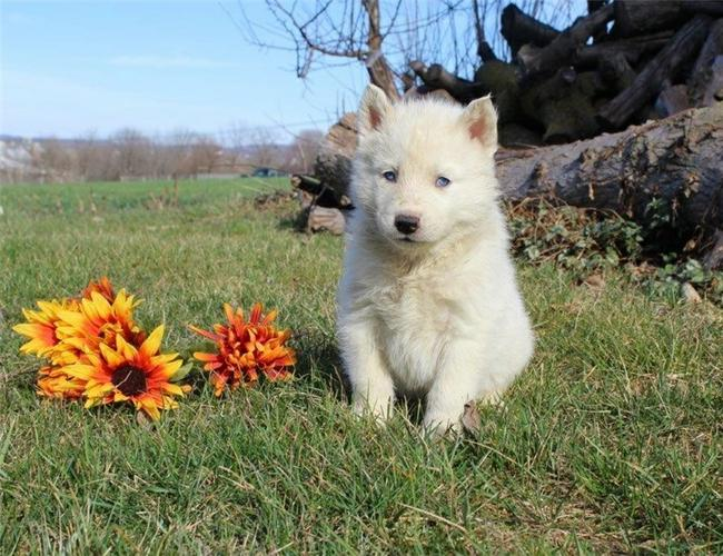 *Top Quality S.i.b.e.r.i.a.n Hu..s.k.i.e.s puppies (609) 701-1638