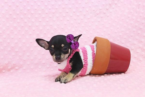 Beautiful Teacup Chihuahua Puppy!!!