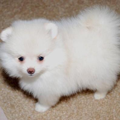 **Miniature Pome ranian Puppys** to go (410) 635-0206