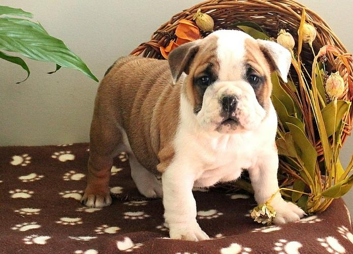 Two English Buldogs Puppiess For Free