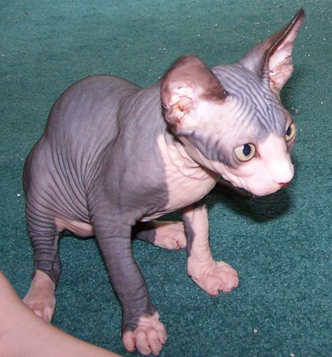 Sphynx Kitten Ready To Leave Now,hcm Clear Parents