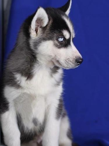 Quality siberians huskys Puppies:***Tex(214) 612-4359