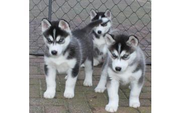 FREE Quality siberians huskys Puppies: