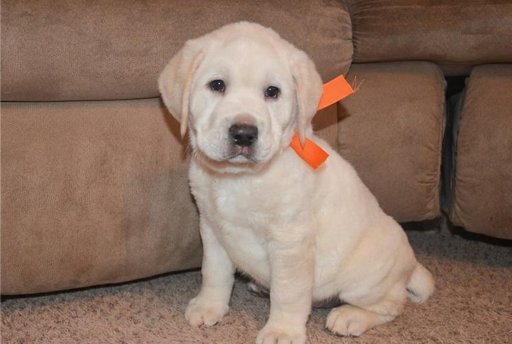 FREE Quality Labrador Retriever Puppies:contact us at(256) 733-3809