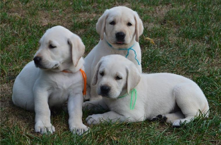 FREE Quality Labrador Retriever Puppies:contact us at(256) 733-3809