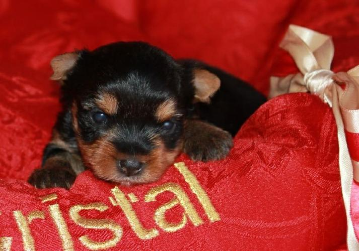 # #  Quality Teacup Yorkies Puppies:..**