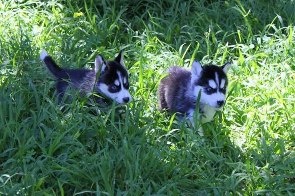 Free Fantastic Female and Male H.u.s.ky Pu.pp.ies for new home %$%(980) 352-8891