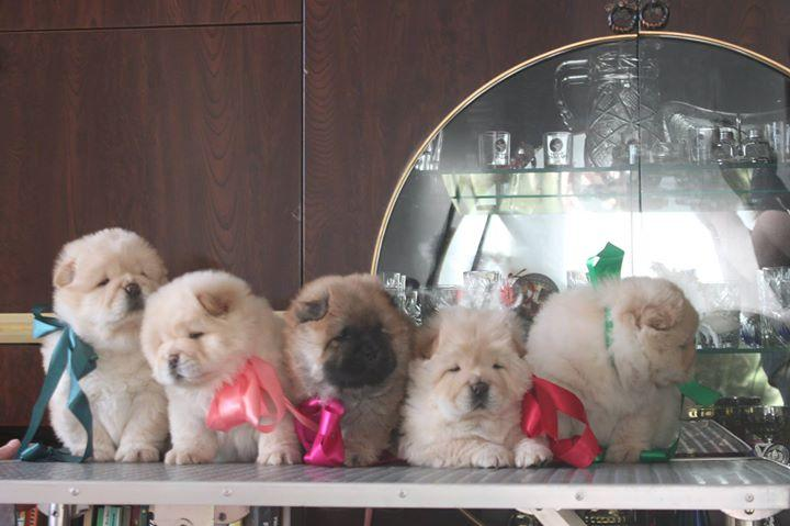 Male and Female Chow Chow Puppies Available 812-573-0484
