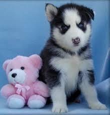 CUTE S.I.B.E.R.I.A.N H.U.S.K.Y Puppies: contact us at (252) 302-0618