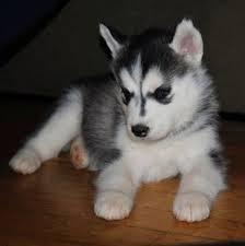 gift Lovely s.i.b.e.r.i.a.n H.u.s.k.y Puppies text or call (678) 741-9096