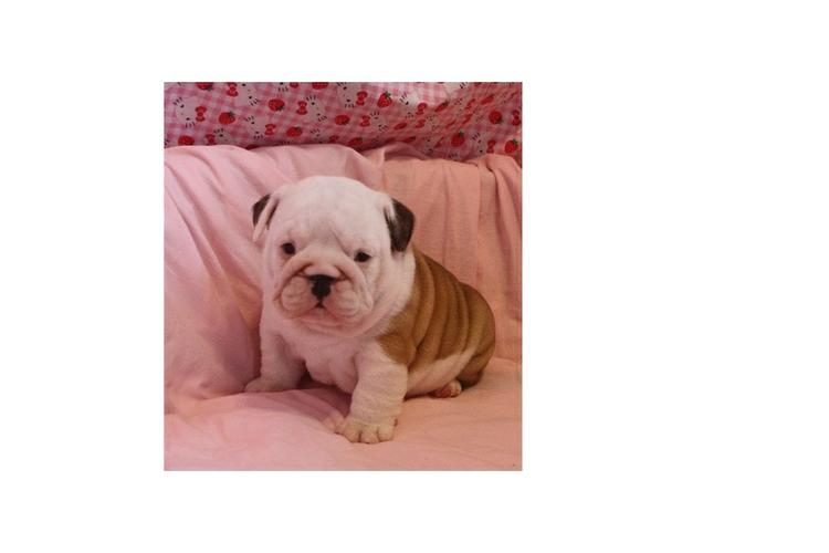 FREE/FREE Affectionate FREE/FREE M/F English B.u.l.l.d.o.g Puppies!!! contact us at (410) 424 6120