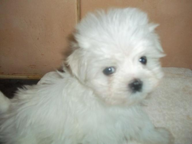 xmasMa.l.t.e.s.e P.upp.i.e.s For F.r.e.e,(7083567268 Ready Now 16 Weeks Old