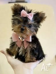A.d.o.r.a.b.le  T.e.a.c.u.p Y.o.r.k.i.e. puppies.(234) 281-0670
