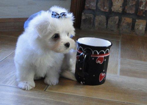 *Pretty Female and Male Tea Cup M.a.l.t.e.s.e puppies*(616) 323-0905..