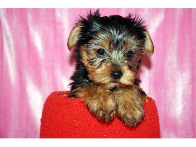 Cute .T..Cup Y>o<r<kie Pups.303-351-7420