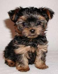 Trained Tea-cup Yorkies Pu.ppies for good caring families  (240) 466-8033 We have 2 well trai