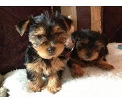 Trained Tea-cup Yorkies Pu.ppies for good caring families   We have 2 well trained Tea-cup Yo