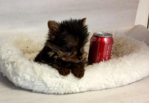 CUTE  T.E.A.C.U.P Y.O.R.K.I.E  puppies sms 443-993-0323