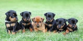 MINIATURE PINSCHER PUPPIES FOR SALE