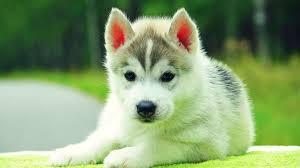 Black and White S.I.B.E.R.I.A.N .H.U.S.K.Y Puppies (302) 417-3752