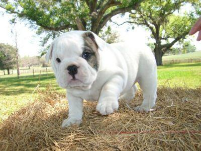 Free Lovely Akc Registered E.n.g.l.i.s.h B.u.l.l.d.o.g.s Puppies(443) 993-0259