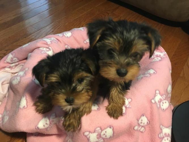#CHARMING Y.O.R.K.I.E puppies,for Good Home#