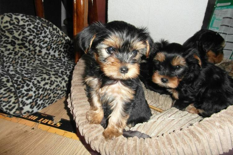 # #  Quality Teacup Yorkies Puppies:....**
