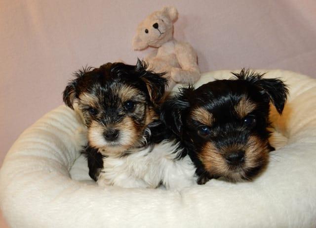 SWEET Y.O.R.K.I.E Puppies!!! (646) 583-7072
