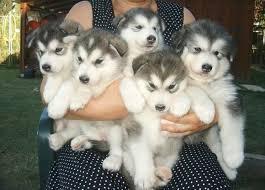 Excellent S.I.B.E.R.I.A.N H.U.S.K.Y Puppies..(512) 553-3823