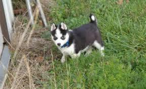 ??? Quality siberians huskys Puppies:???contact us at (410) 260-0470
