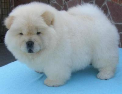 Male and Female Chow Chow  Pu.ppies ) Need Home