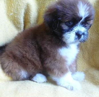 Cute Lhasa Apso Puppies For Adoption.