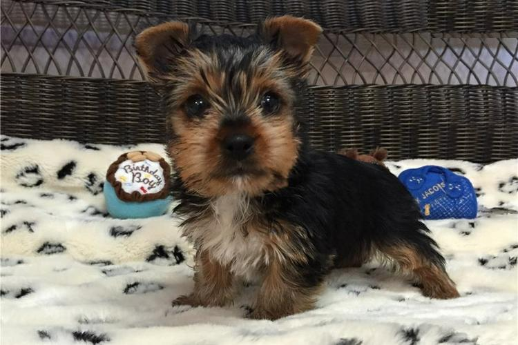 Tea cup Yorkie puppy healthy and trained for free to any interested person that is ready  to take th